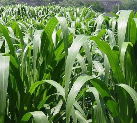高丹草种植