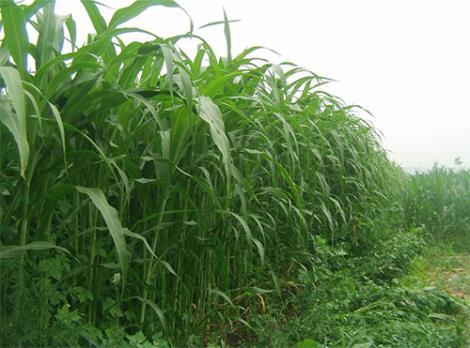 高丹草的营养价值
