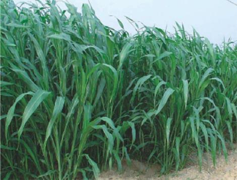高丹草一年可收获几次
