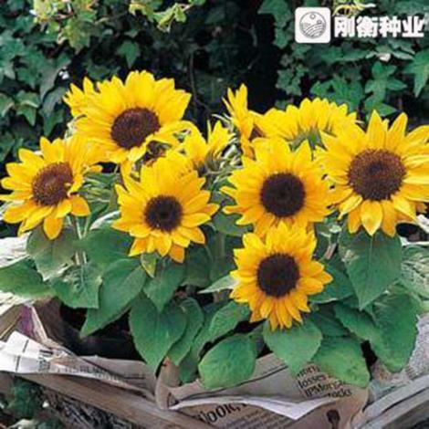 矮生向日葵