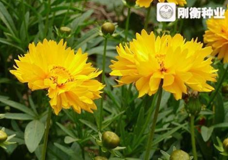 矮生重瓣金鸡菊