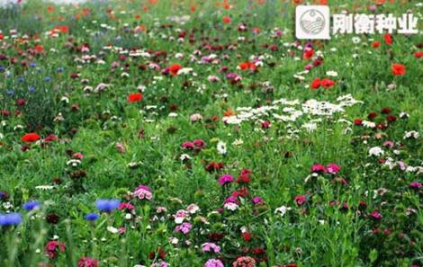 道路绿化野花组合