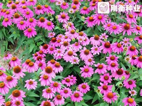 松果菊种子