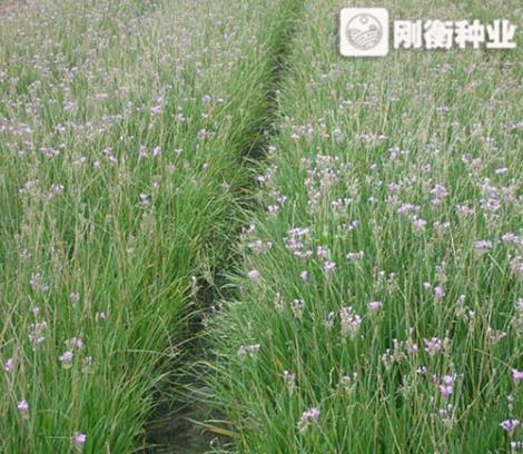 紫娇花种子