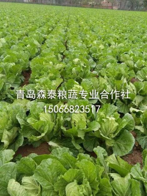 秋白菜生产商