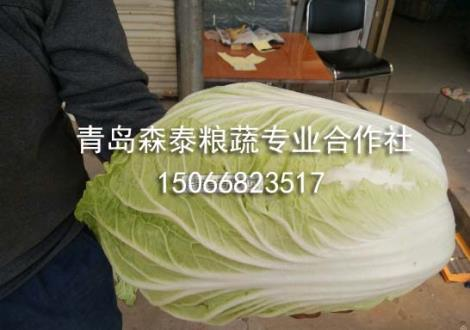 春白菜厂家