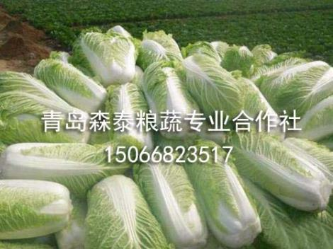 春白菜生产商