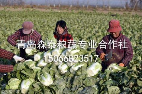 冬白菜供货商