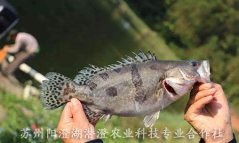 鳜鱼哪家好