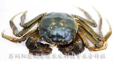 阳澄湖大闸蟹养殖厂家
