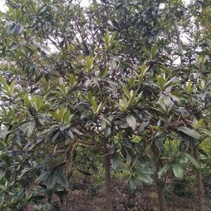 枇杷樹銷售