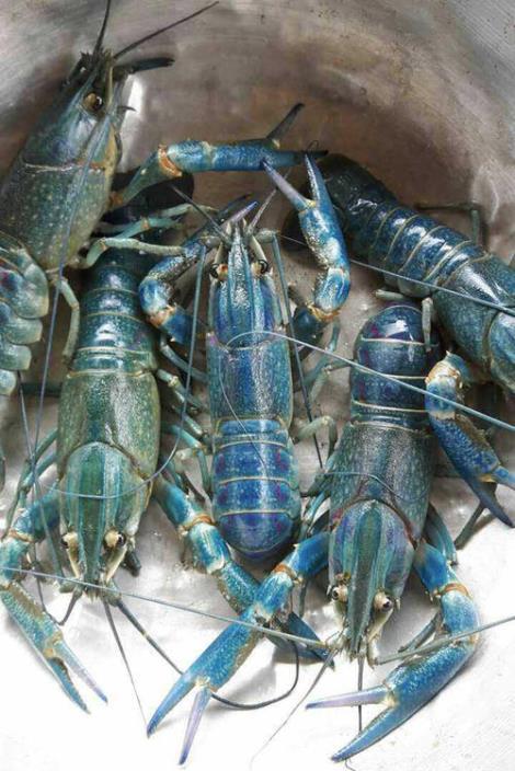 12BET官网下载淡水龙虾养殖