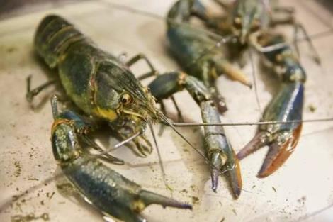 12BET官网下载龙虾养殖