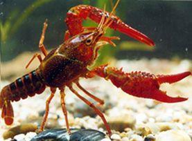 红螯螯虾虾苗