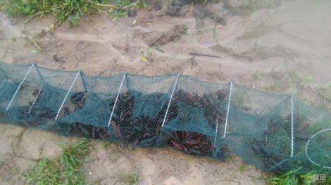 12BET官网下载淡水红螯螯虾养殖