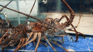 淡水红螯螯虾养殖