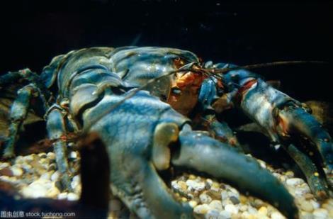 12BET官网下载淡水龙虾养殖技术