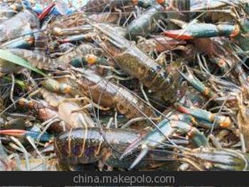 淡水红螯螯虾养殖技术
