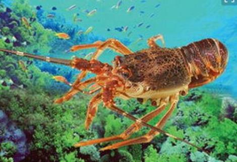 龙虾怎么样