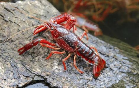 红螯螯虾厂家