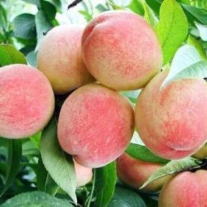 優質水蜜桃供應