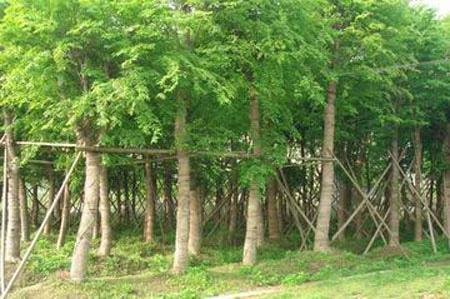 20公分櫸樹