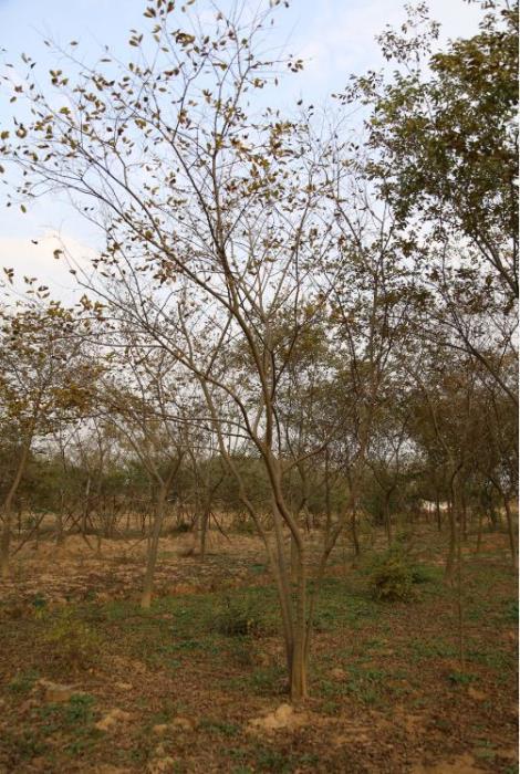 8公分叢生樸樹