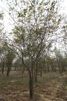 10公分叢生樸樹