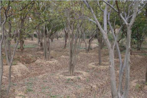 15公分叢生樸樹