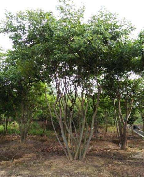 20公分叢生樸樹