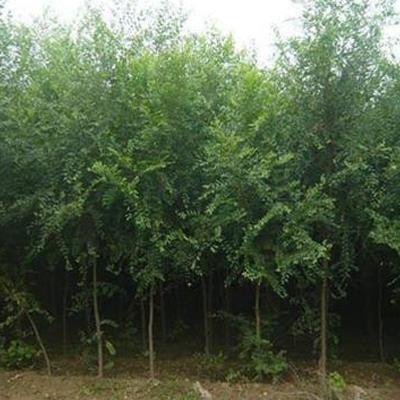 句容榆樹苗木
