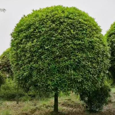 鎮江桂花樹