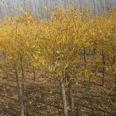 句容黃金槐苗木