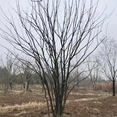 叢生黃連木
