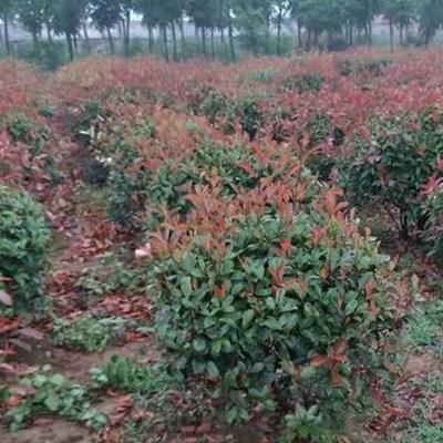 紅葉石楠苗木