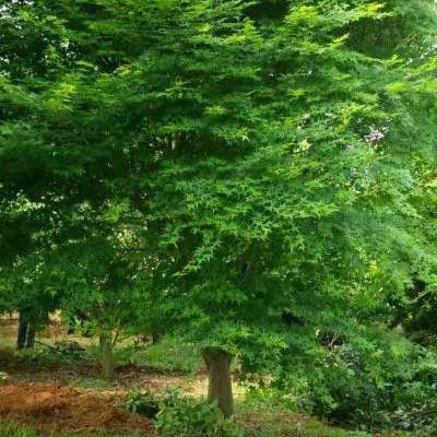 雞爪槭苗木