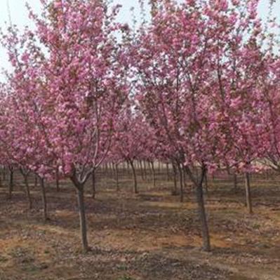 櫻花樹苗木