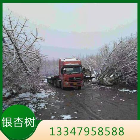银杏树供货商