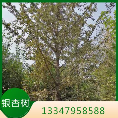 银杏树培育