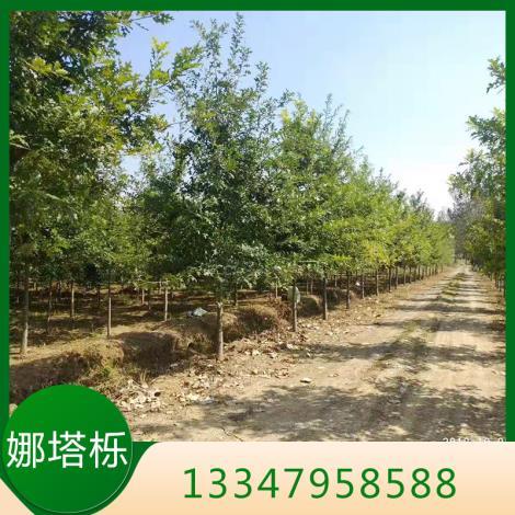 娜塔栎种植