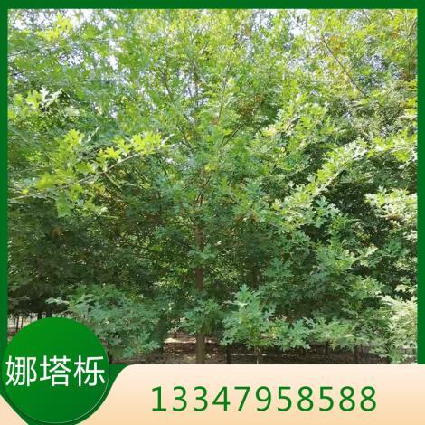 娜塔栎树种