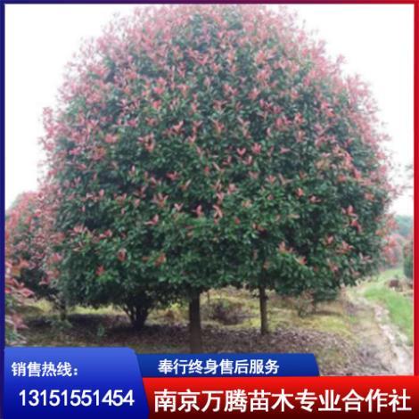 红叶石楠树