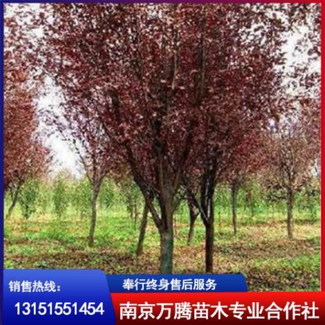 红叶李种植基地