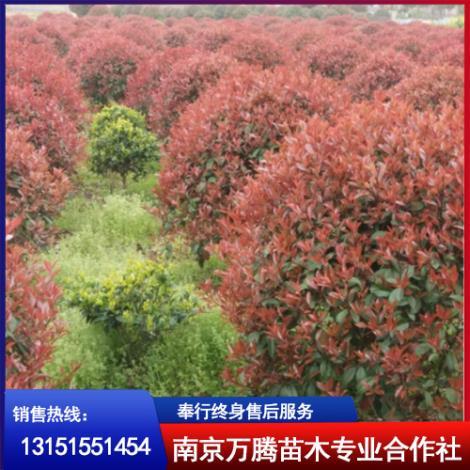 红叶石楠球种植基地