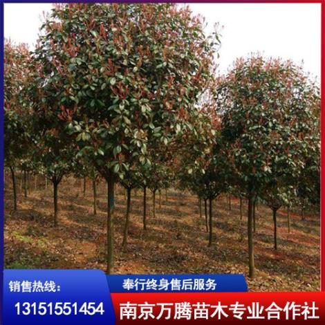 红叶石楠树种植基地