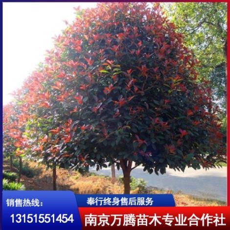 红叶石楠树供应商