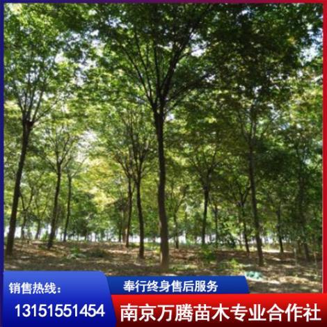 江苏榉树基地