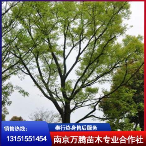 南京朴树基地