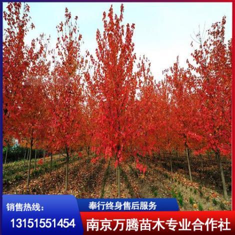南京三角枫种植基地