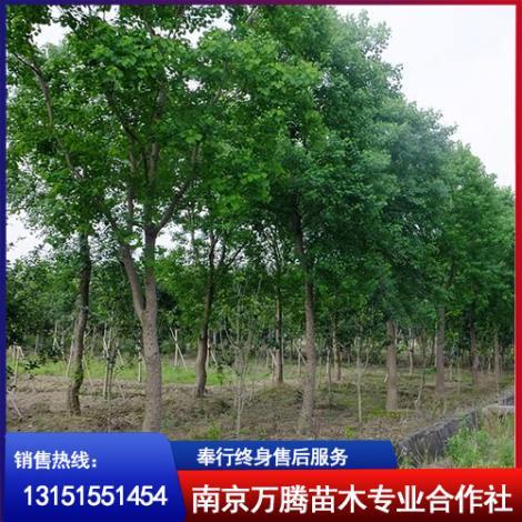 乌桕树种植基地